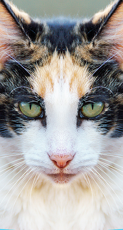 Make Symmetric Symmetric Faces in Photoshop: Cat